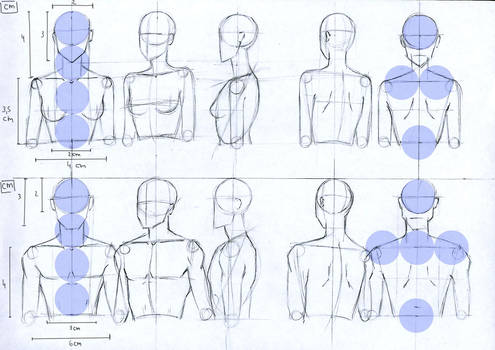 Female and Male anatomy proportions head and torso