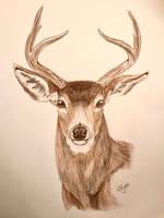 Columbian Blacktail Deer by CameronDillon