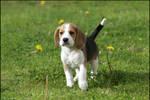 Beagle...