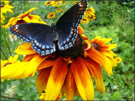 Black-Eyed Butterfly by foreverlong926