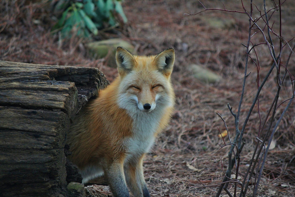 Just a smiling fox :) : aww