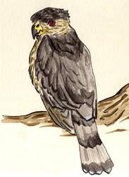 Coopers Hawk by animetedskier