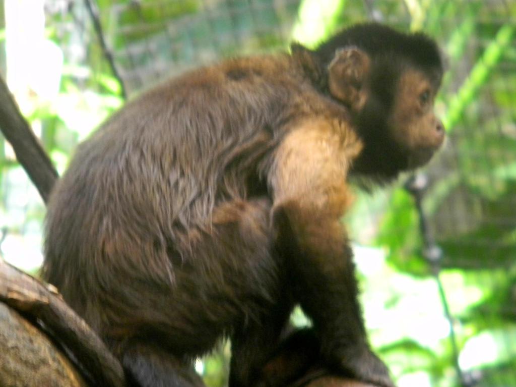 Capuchin by Wolfdrappa95