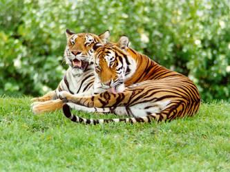 tigers by micmacmush