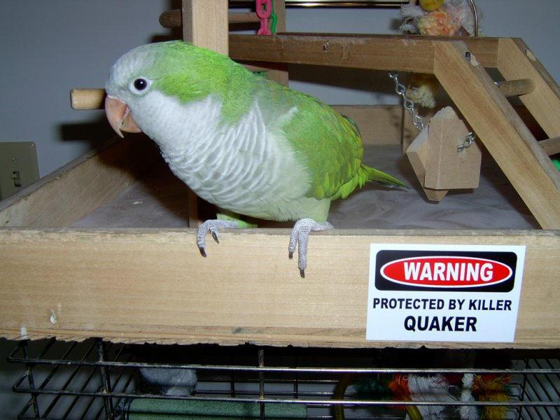killer quaker parrot by ulario on deviantart