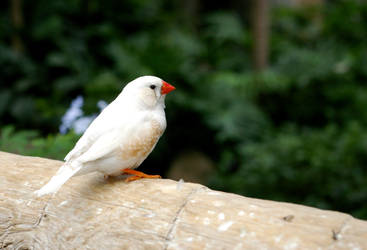 White Zebra Finch by chiziwhiteafrican
