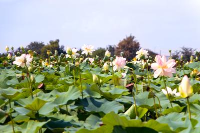 field of lotuses by JuliaRemesova