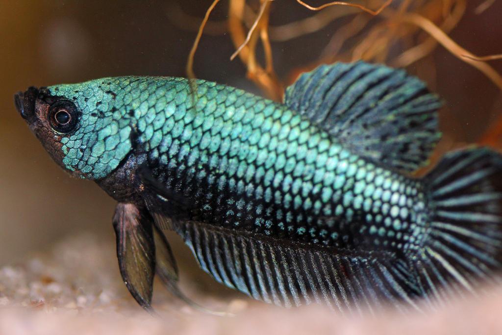 dragonscale betta by FishPanda on deviantART