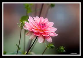 Pink Lady by mrb24