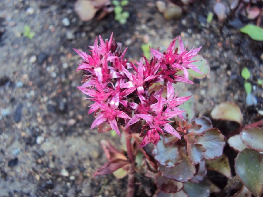 Small star shaped flowers by jessi element on deviantart small star shaped flowers by jessi element mightylinksfo