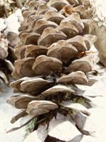 Pine cone stock by DestinyfallStock