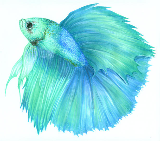 Betta Splenden II by Atomdesigns on DeviantArt Betta Fish Drawings
