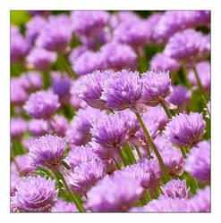 Violet summer... by kuzjka