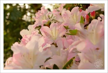 Morning flower by kuzjka