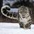 Snow Leppy Icon by RoseOfTheNight4444