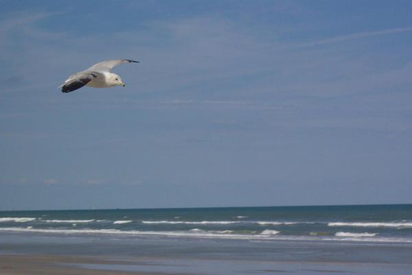 Seagull by ellana