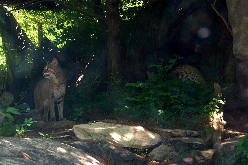 Bobcat - Pairs of Shadows by ellana