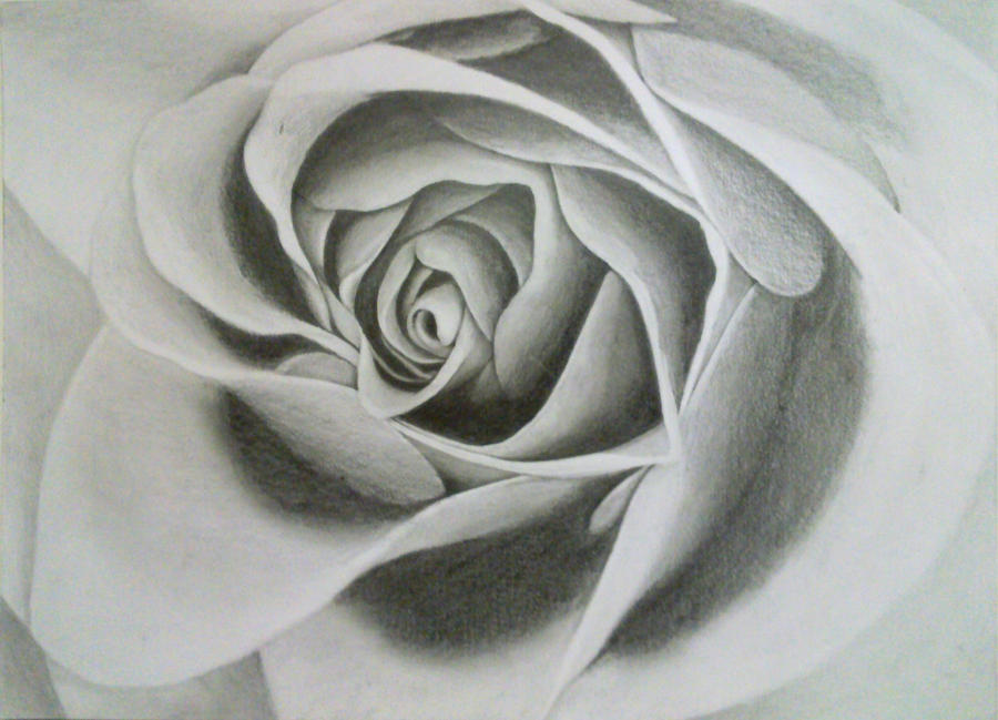 Drawing of a Rose by VisualArt93 on DeviantArt How To Draw 3d Rose Queen Butterfly Vs Monarch
