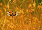 Dragonfly in Gold
