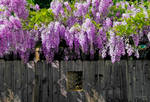 Total wysteria