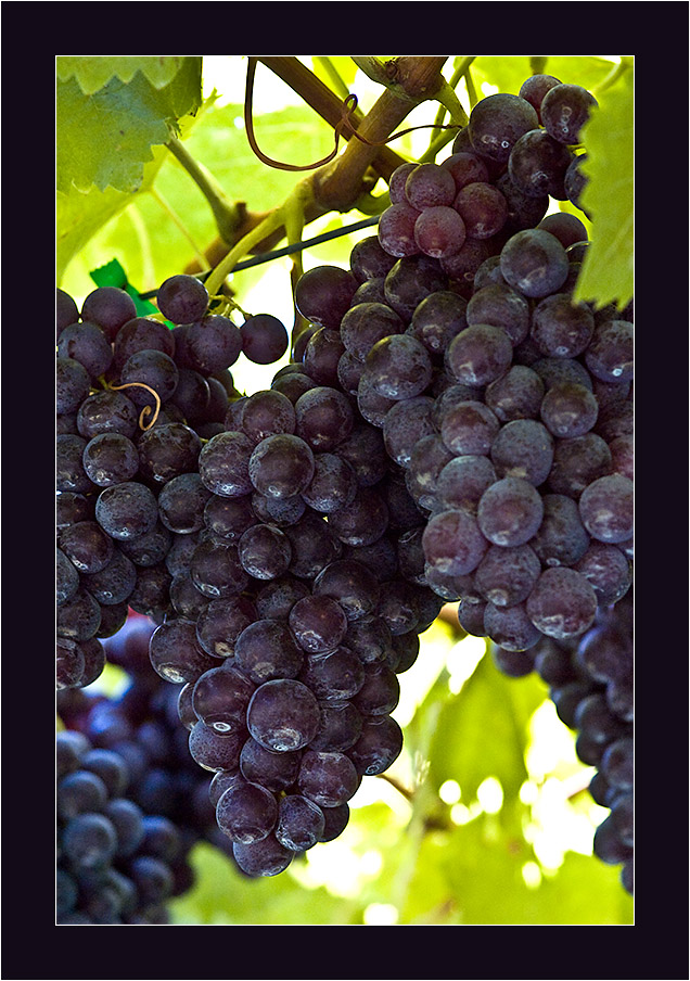 Bunch of grapes by fuchsphoto