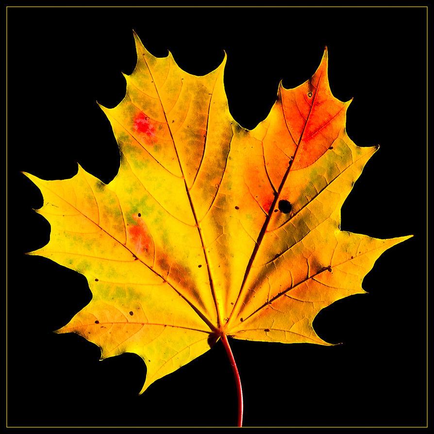 Leaf by fuchsphoto