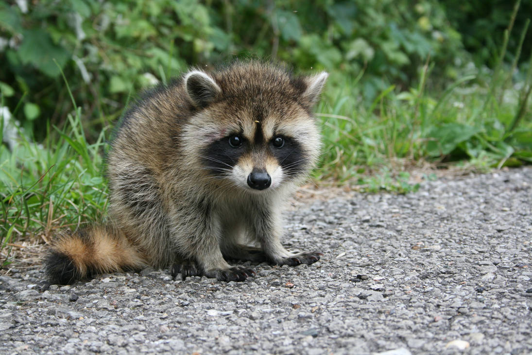 Curious raccoon baby. by Eegaas