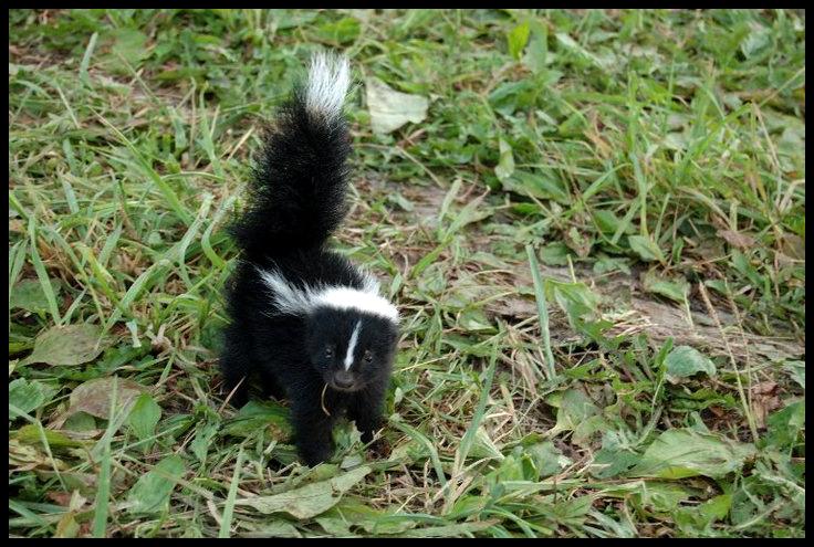 Baby Skunk by Mikomi-Hatake
