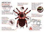 Day 43: Mexican redknee infographic