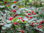 Cluster of red berries