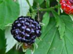 Black Bubbly Berry
