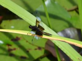 Little flying shamrock by uguardian