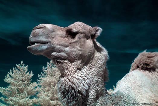 Infrared Camel