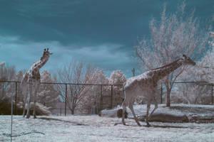 Giraffe Stampede