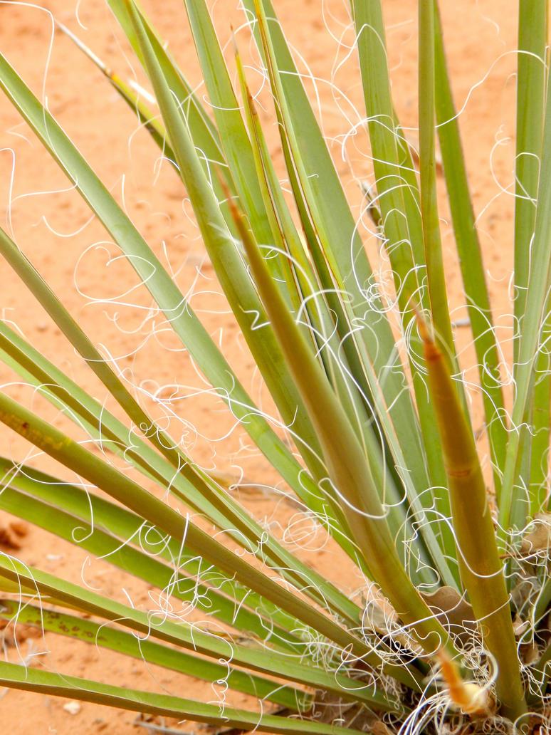 Yucca by Amanda-San