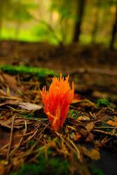 313 Fire fungi 9673 by gacek