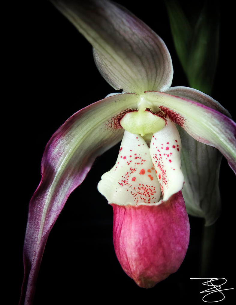Pink Lady Slipper Orchid by braxtonds