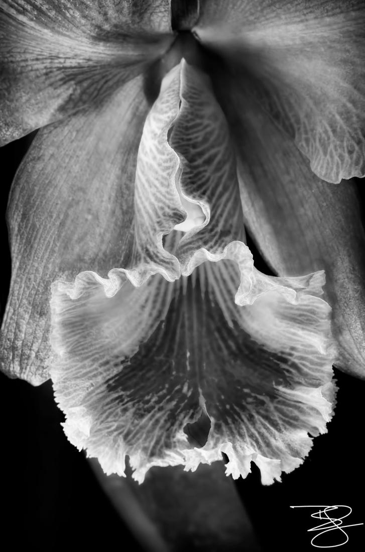 BW Cattleya by braxtonds