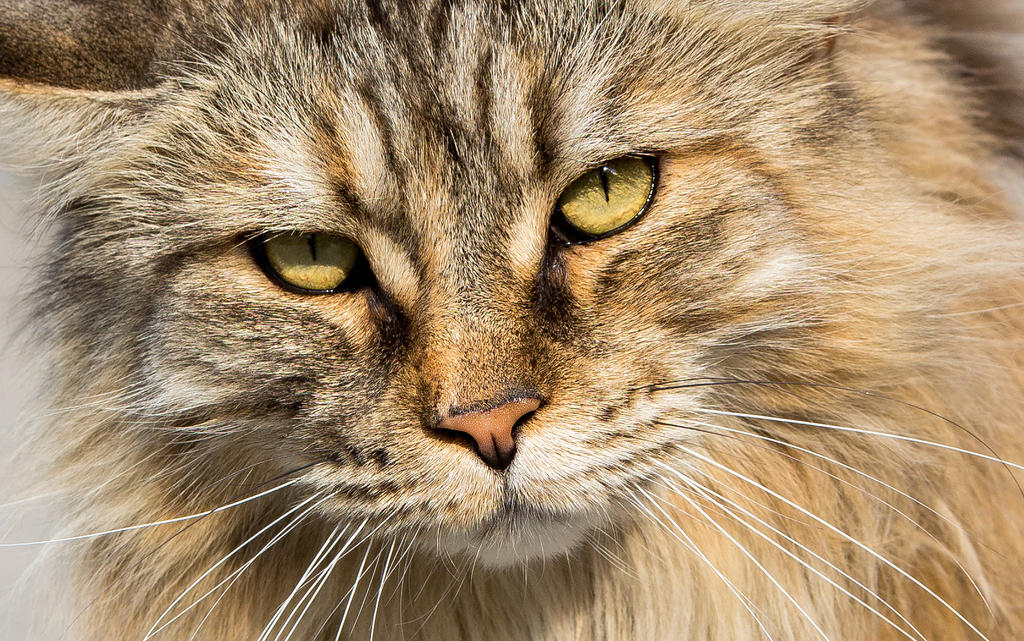 Norwegian Forest Cat Wallpaper 1680 X1050 By