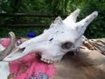giraffe skull