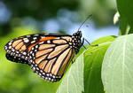 Monarch Stock