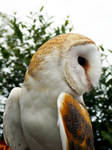 Barn Owl by Owl-Pink