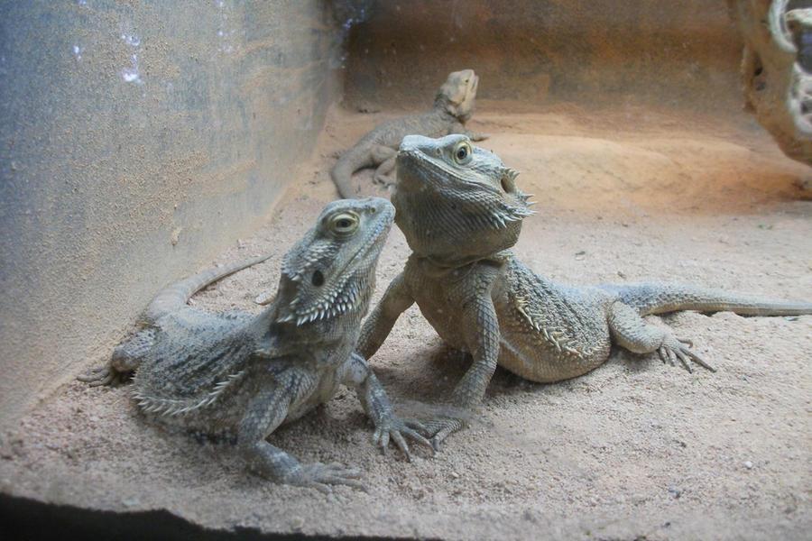 Lizard Couple Stock by SusanaDS-Stocks