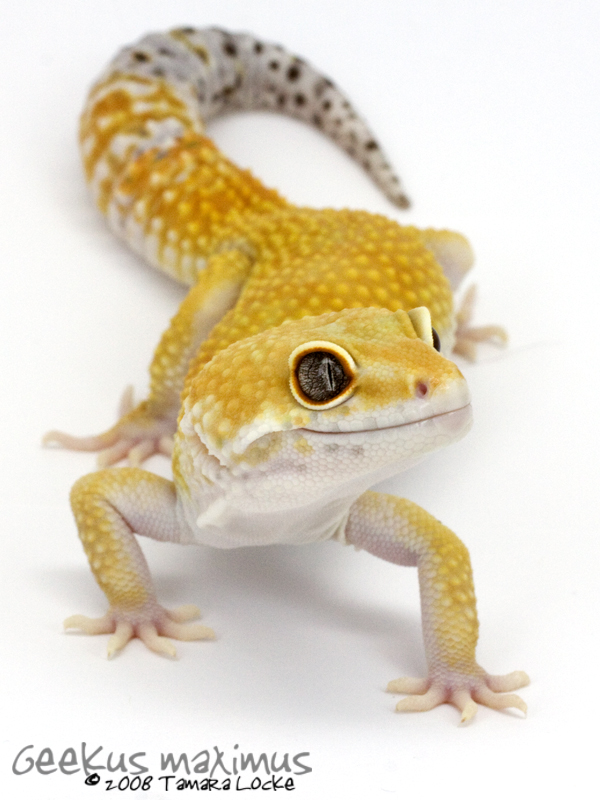 leopard gecko 2 by geekusmaximus