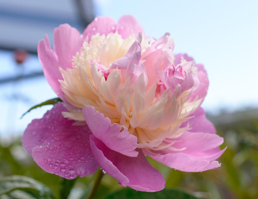 Paeonia lactiflora Sorbet by feneur