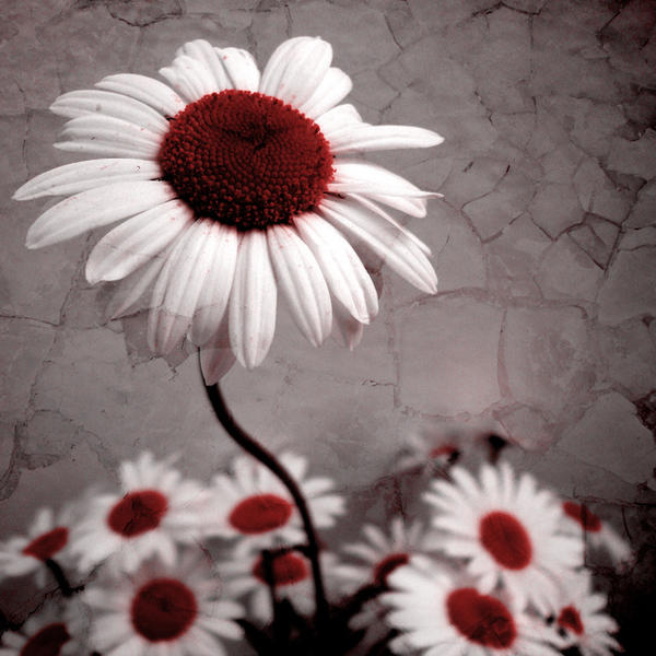 he was a bruised flower by A-l-a-s-s-e-a