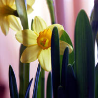 in time of daffodils