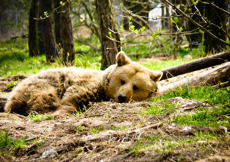 Wolfgang- L'ours  Bear_rest_by_noncsi28-d3dzdia