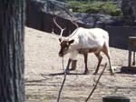 Zoo :Caribou:
