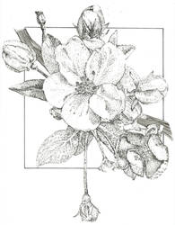 Apple.Blossom